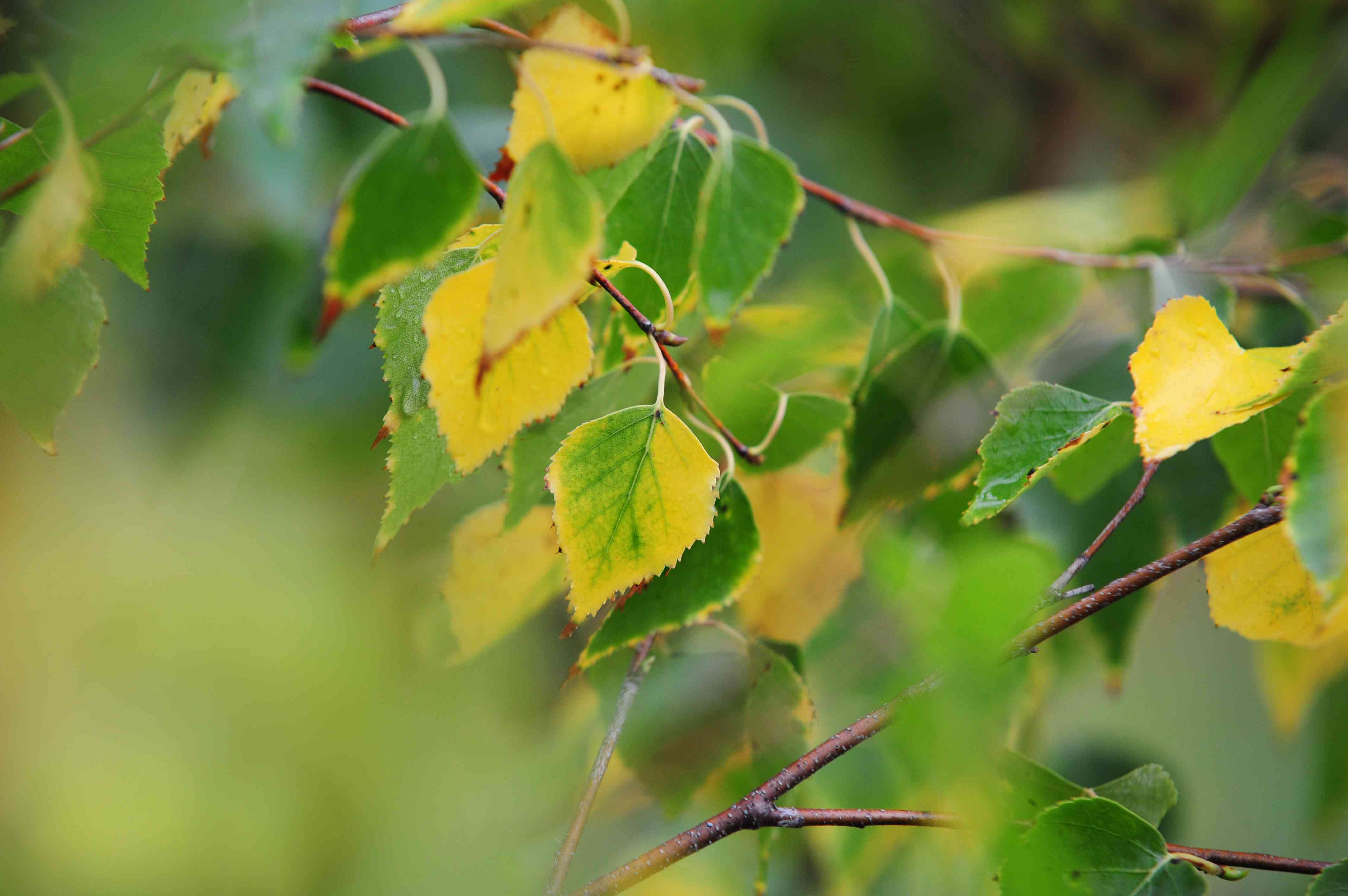 Silver birch tree branch with green and yellow leaves closeup