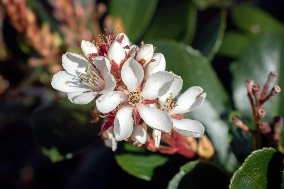 Indian hawthorn shrub with white star-shaped flowers in sunlight closeup