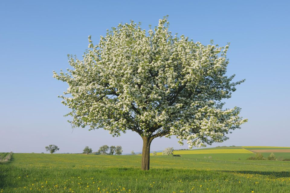 Pear tree (Pyrus spec.) in blossom.