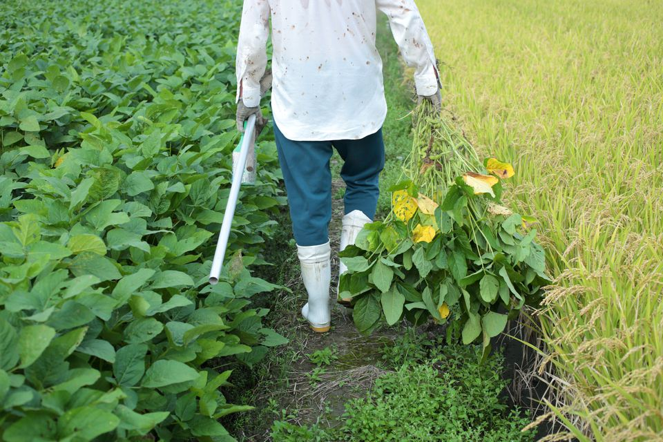 Man with green soybean walking between bean field and rice field