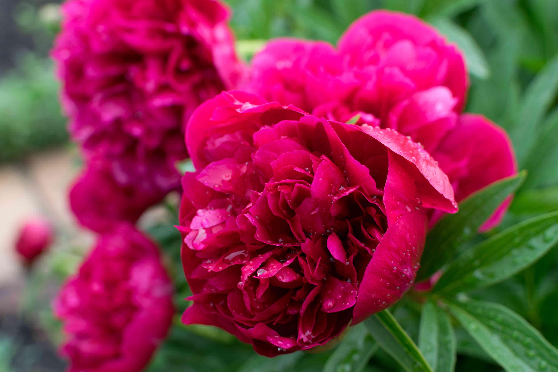 Hermosa peonía o peonía roja con brotes y hojas