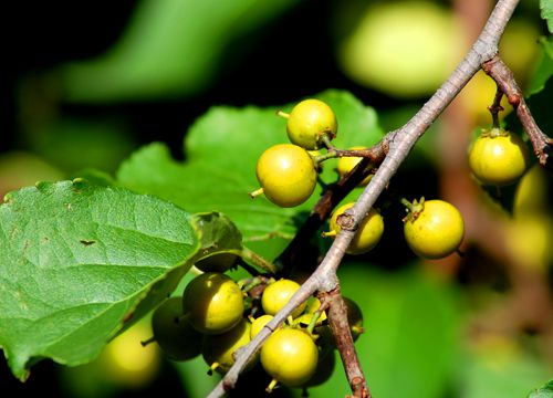 Picture of immature Oriental bittersweet berries.