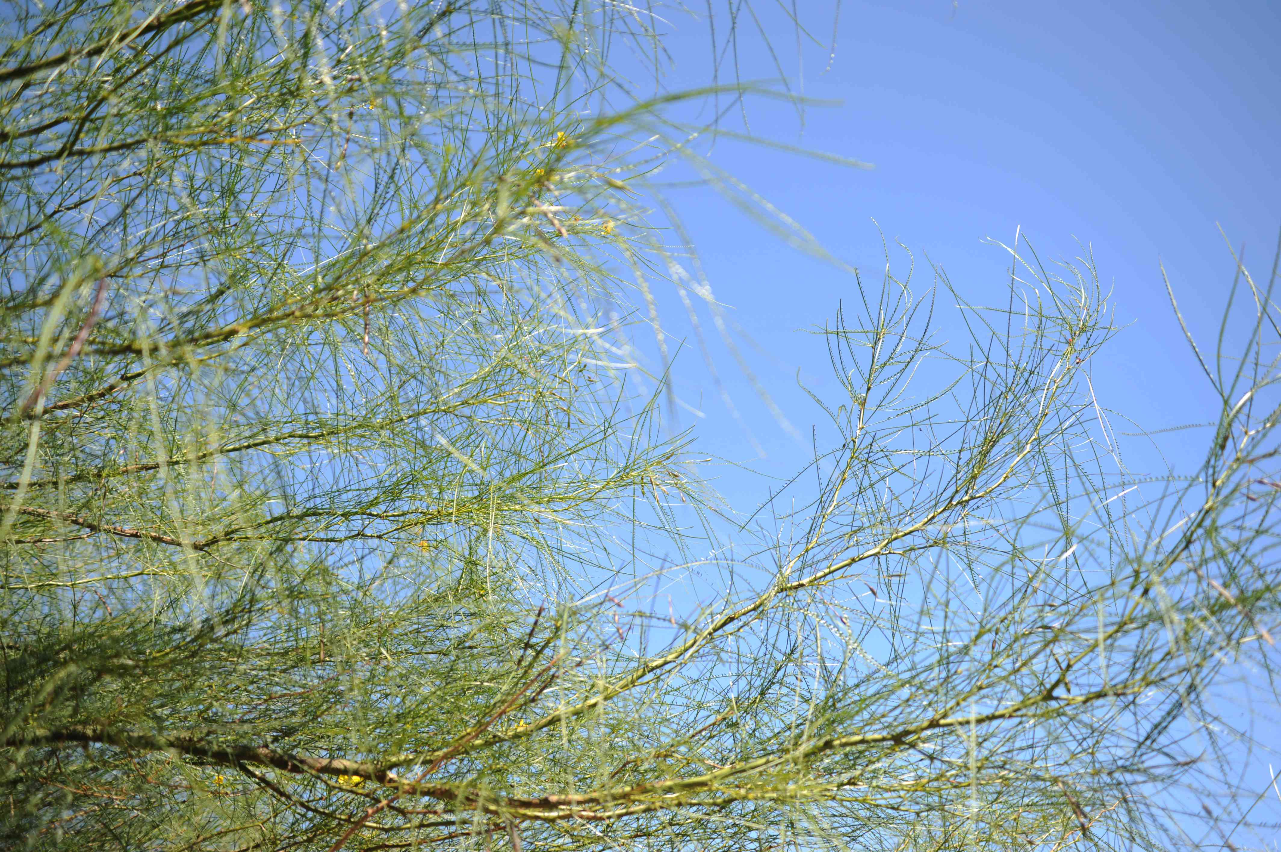 Palo verde tree branches with long and thin pinnate branches against blue sky