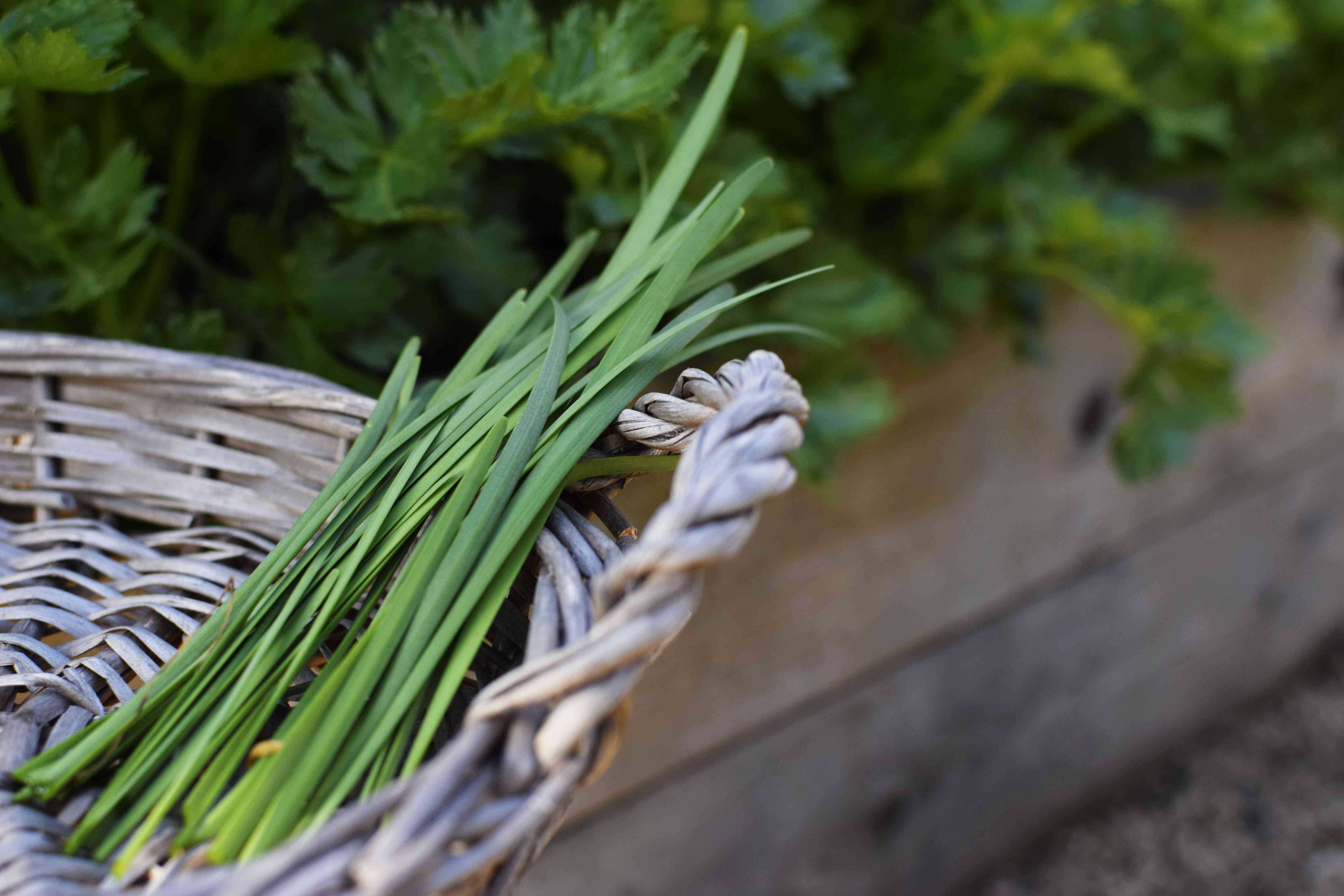 Harvested chives in small woven basket next to garden plants closeup