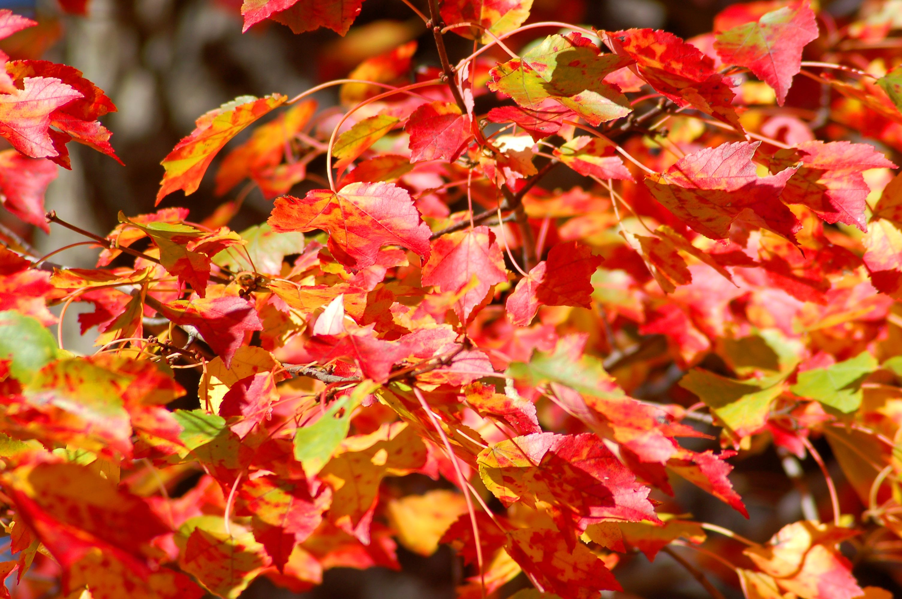 Red maples have fall leaves with three colors at once (red, yellow and green).
