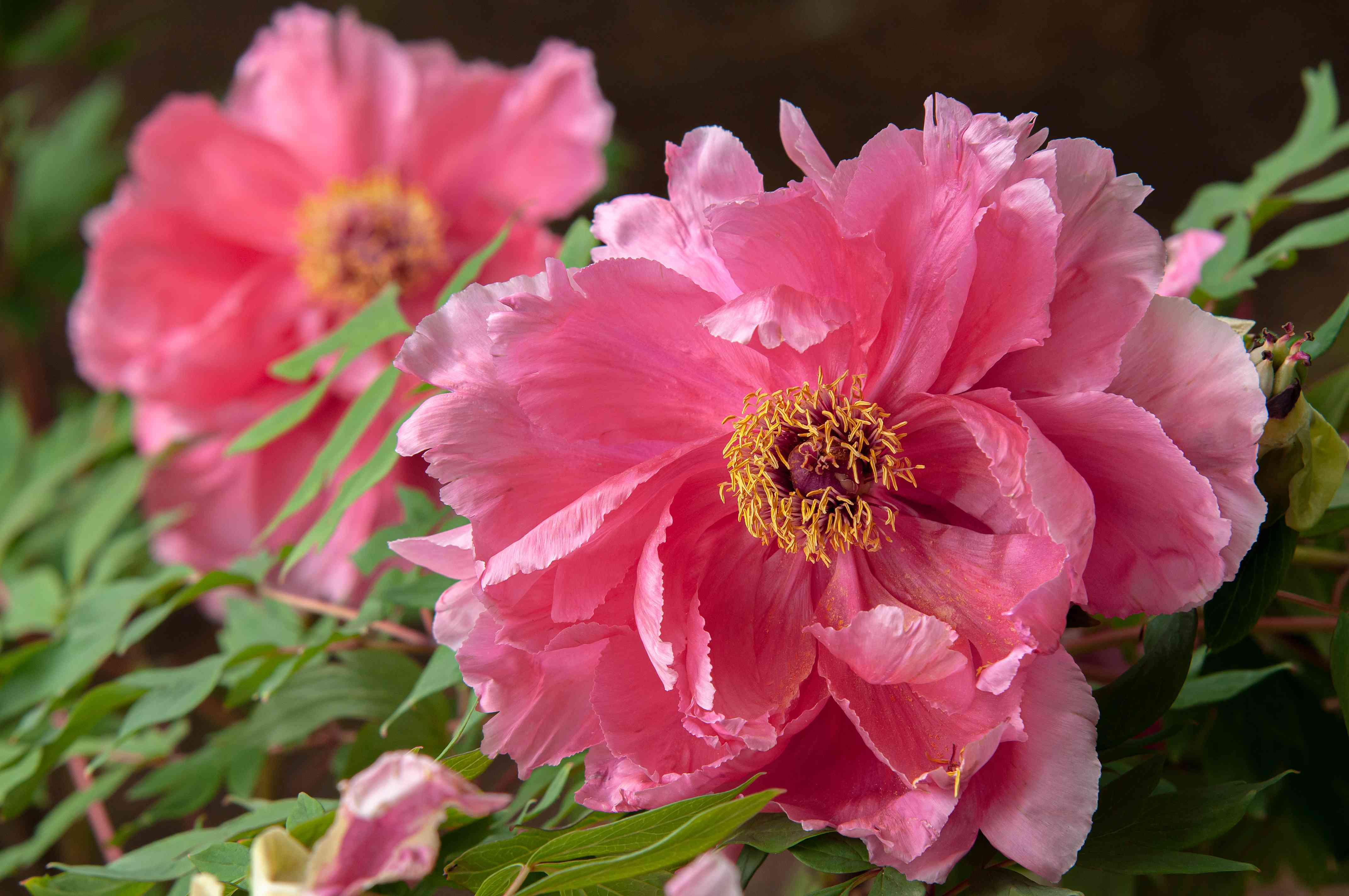 Itoh peonies with pink flowers and yellow anthers closeup
