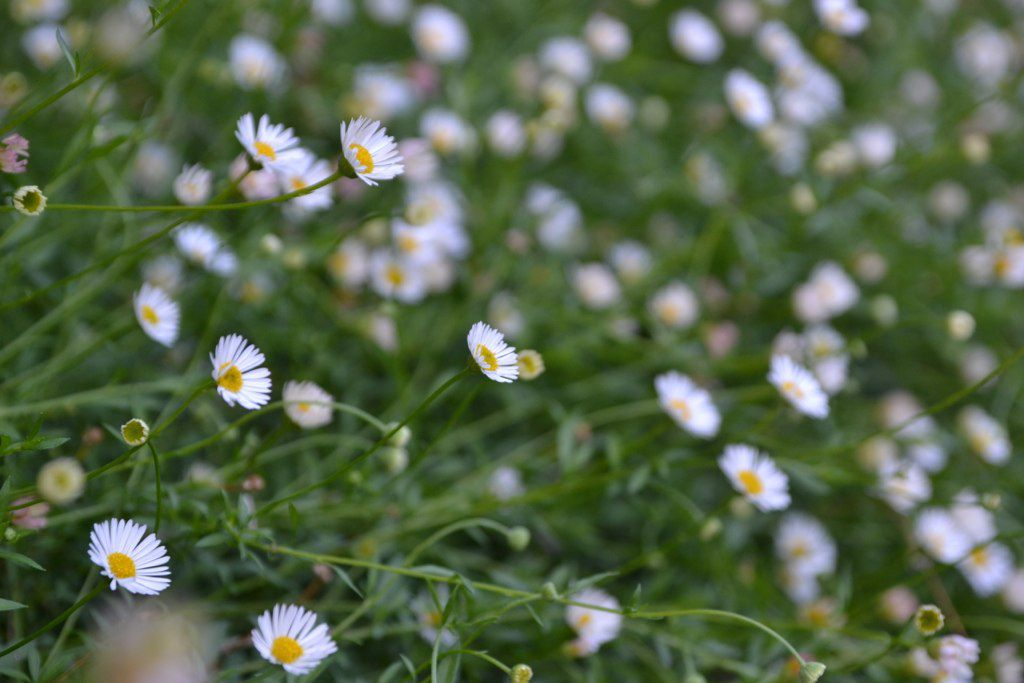 Mexican fleabane plant with small white flowers on long thin stems