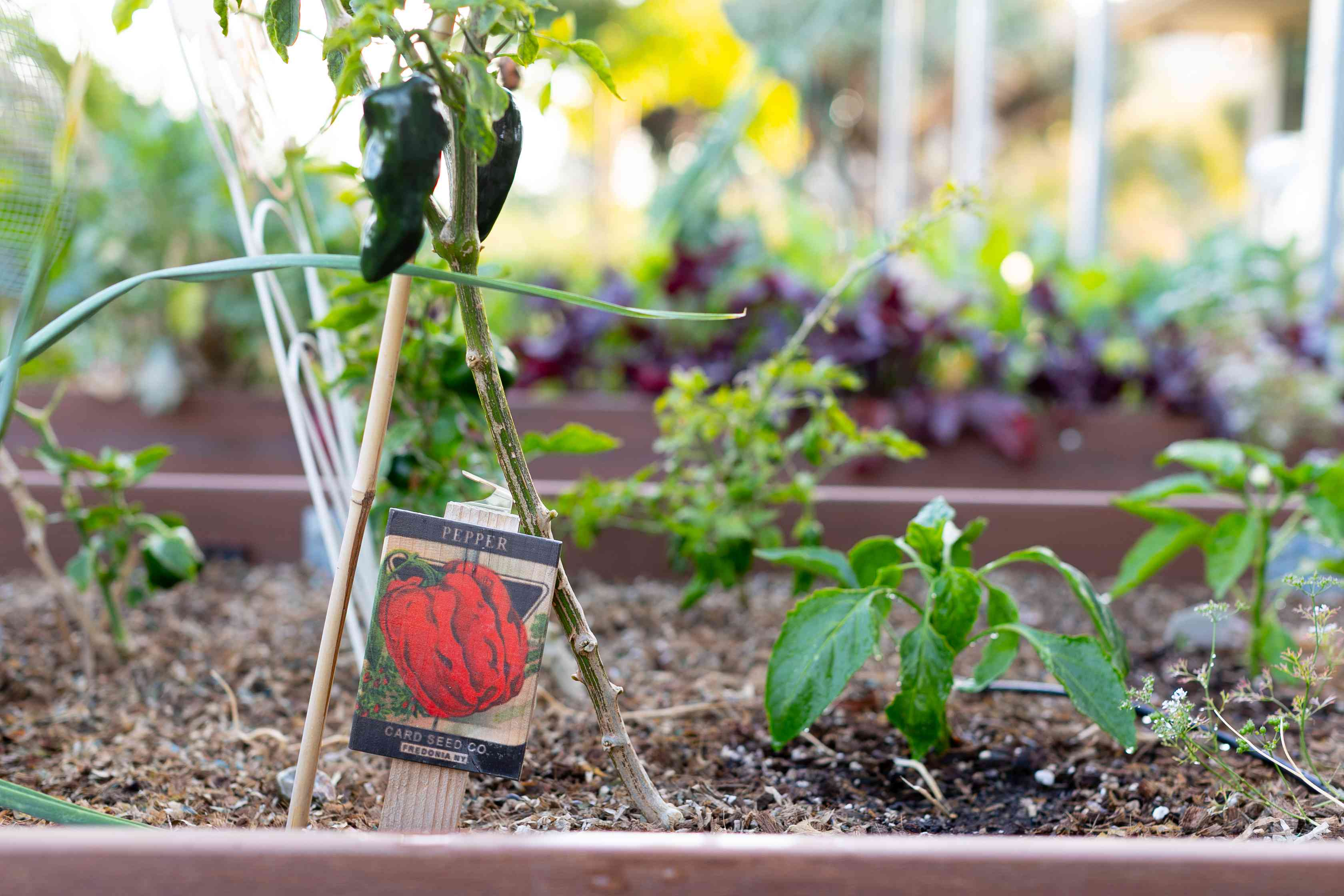 Vegetable garden plants spaced out in raised garden ben with peppers hanging off plant
