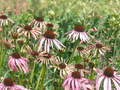 Drooping coneflower plants with thin pink stems and dark red centers in garden