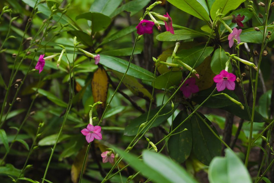 Flowering tobacco plant with fuschia flowers