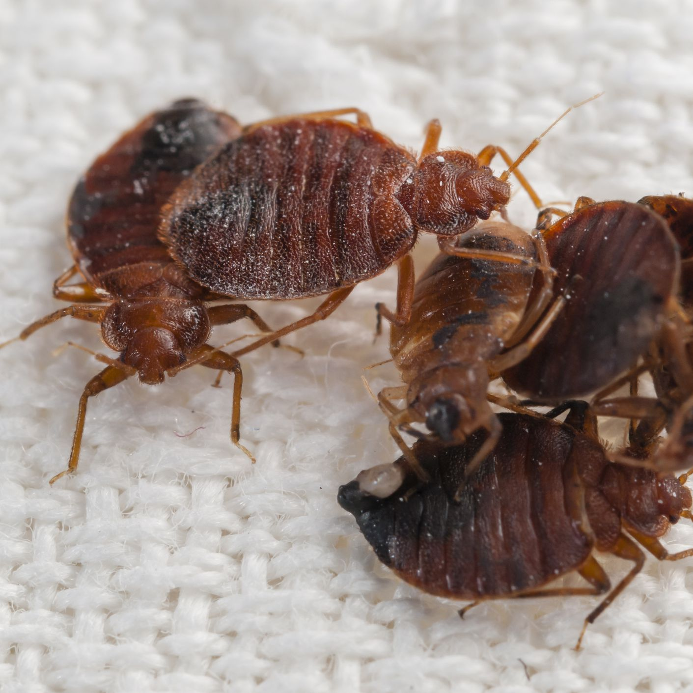 Are Bedbug Sniffing Dogs Accurate