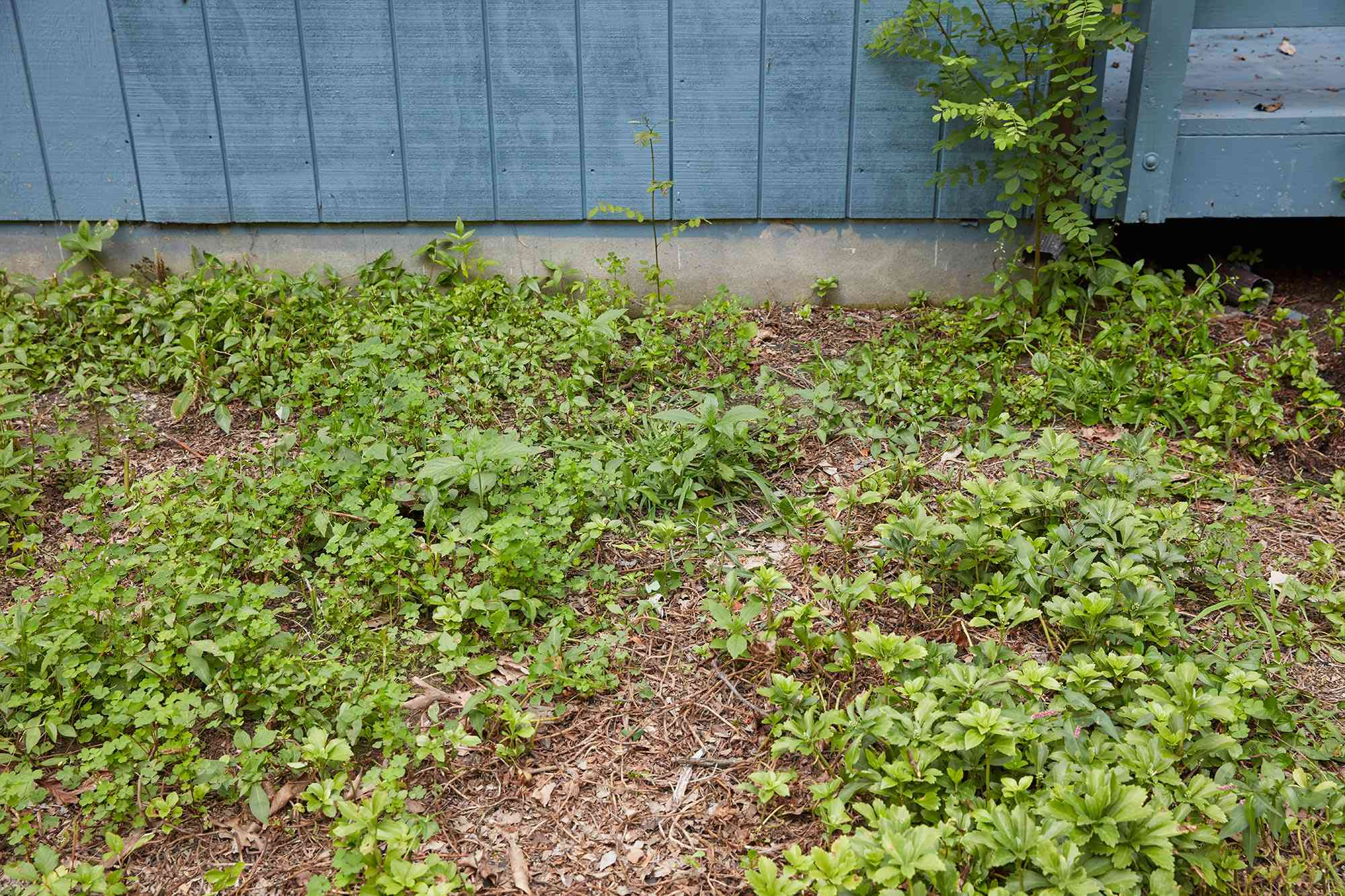 Area with poison ivy inspected on side of blue building