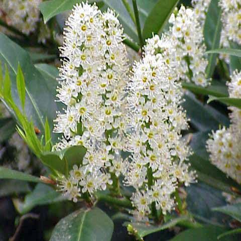 Flores blancas de laurel de cerezo