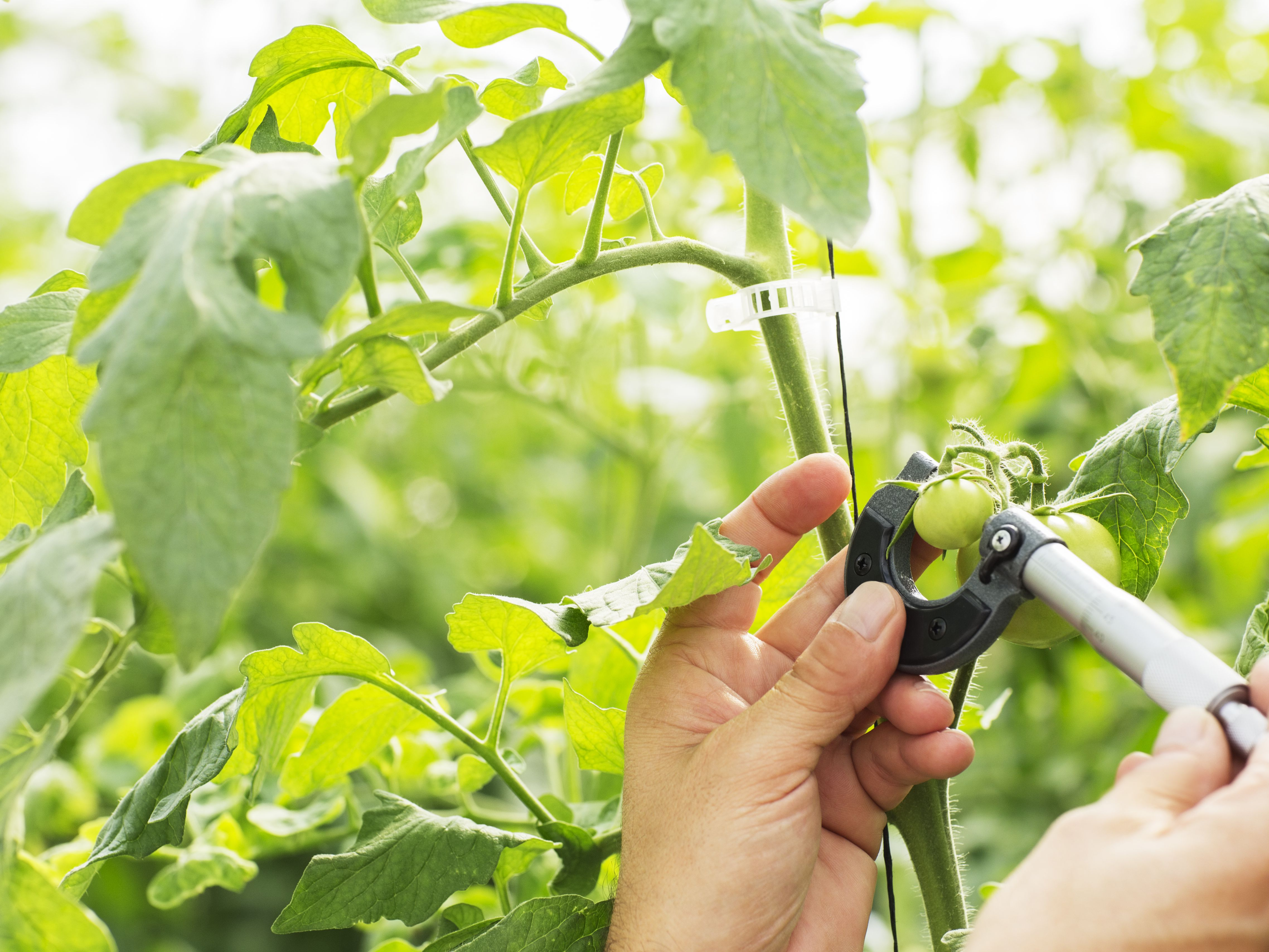 How to Successfully Grow Tomatoes in Hot Climates