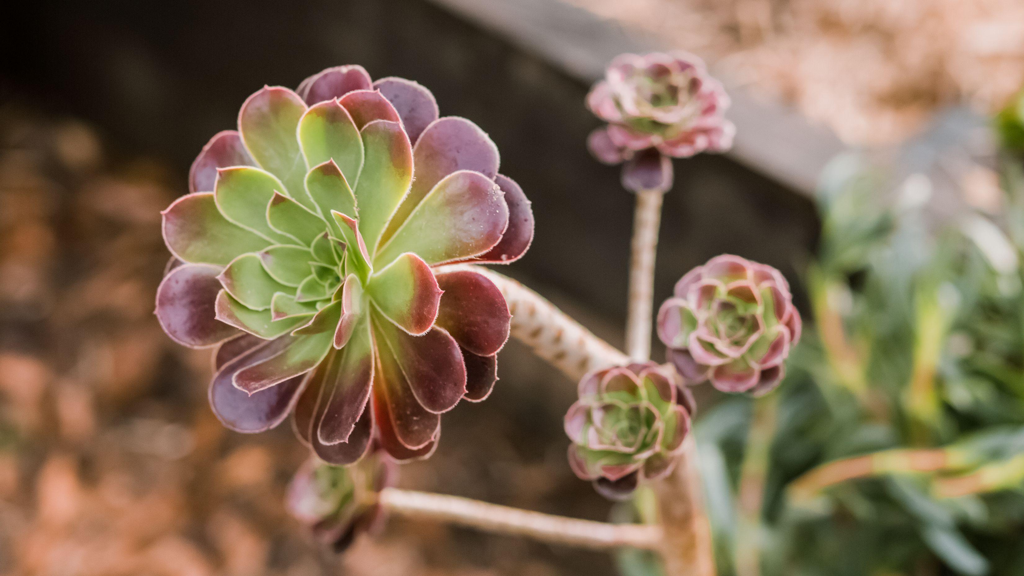 How To Grow Aeonium Plants