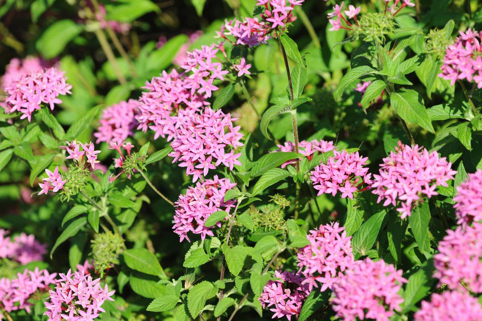Pentas, Egyptian Star Cluster