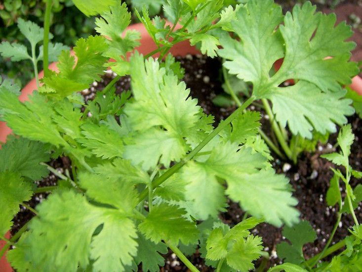 Bright green cilantro leaves growing in a terra cotta pot.