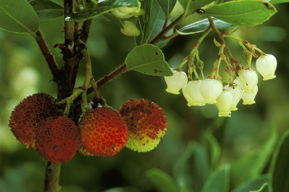 Arbutus unedo (strawberry tree), fruit & flower, october