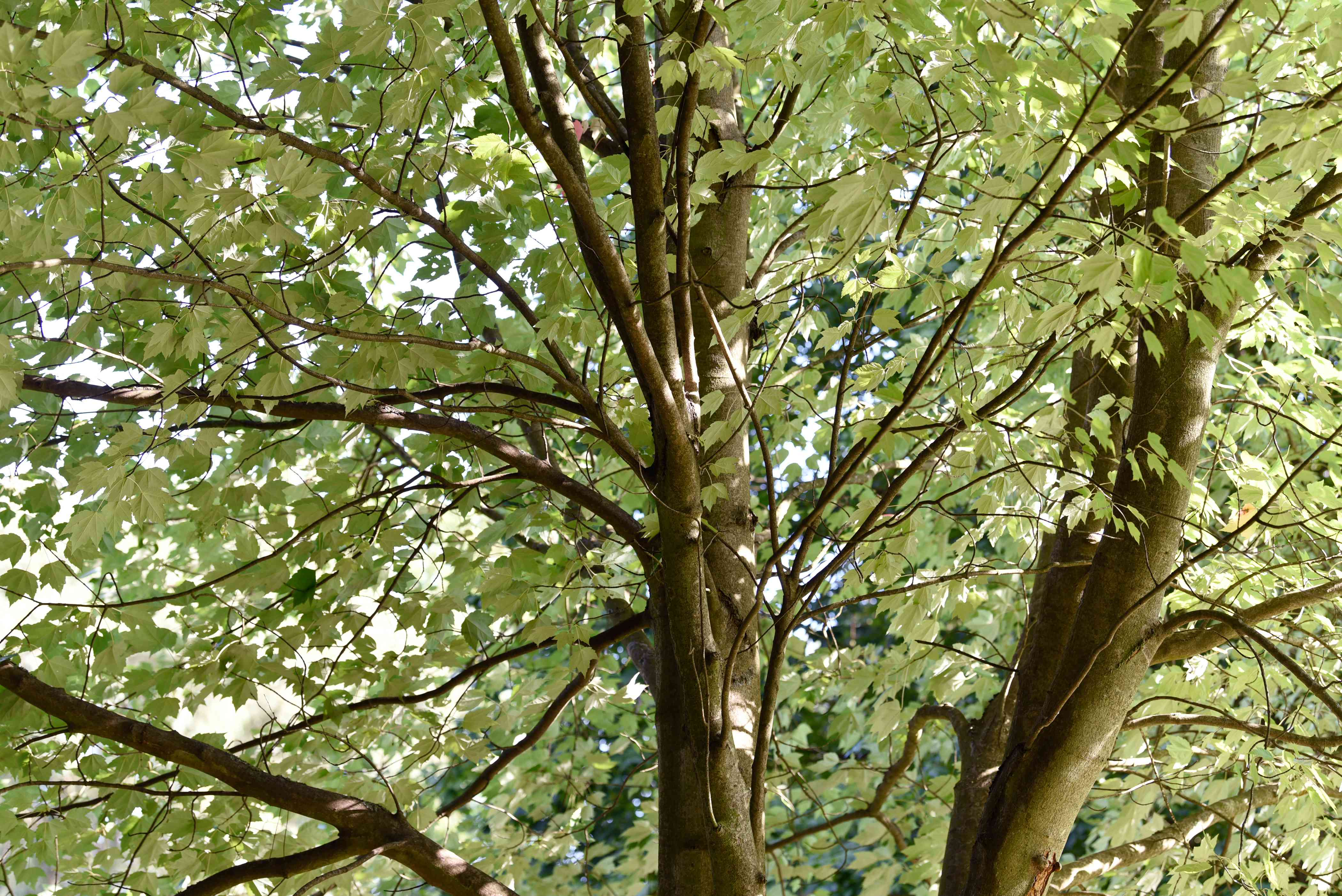 Red sunset maple tree with dark brown bark and sprawling branches with light green leaves