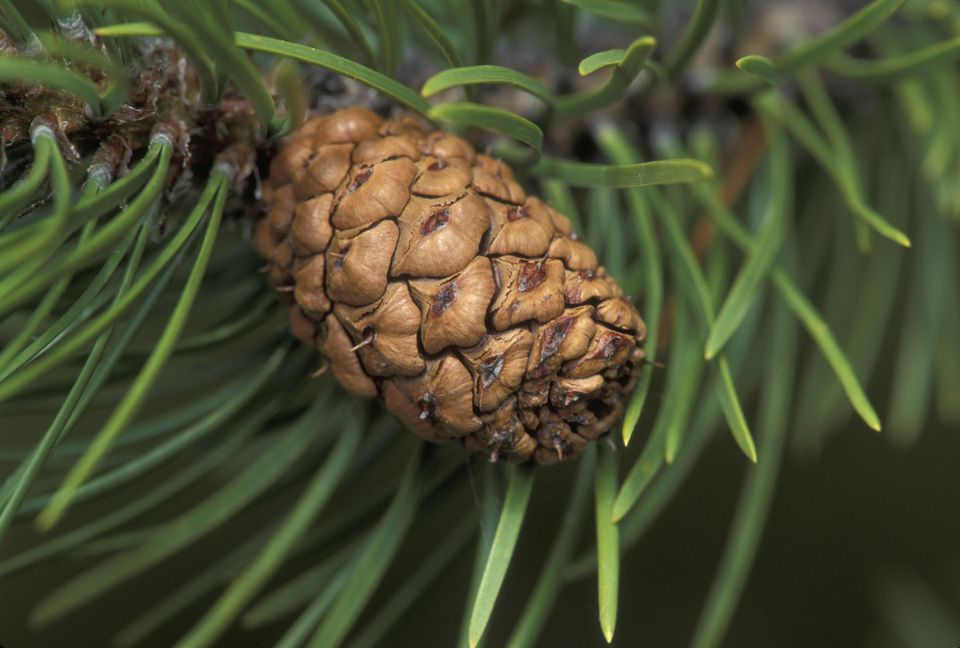 Detail of a loblolly pine cone and needles.