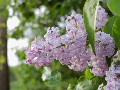 Lilac bush with light pink flower clusters on spike next to large leaves