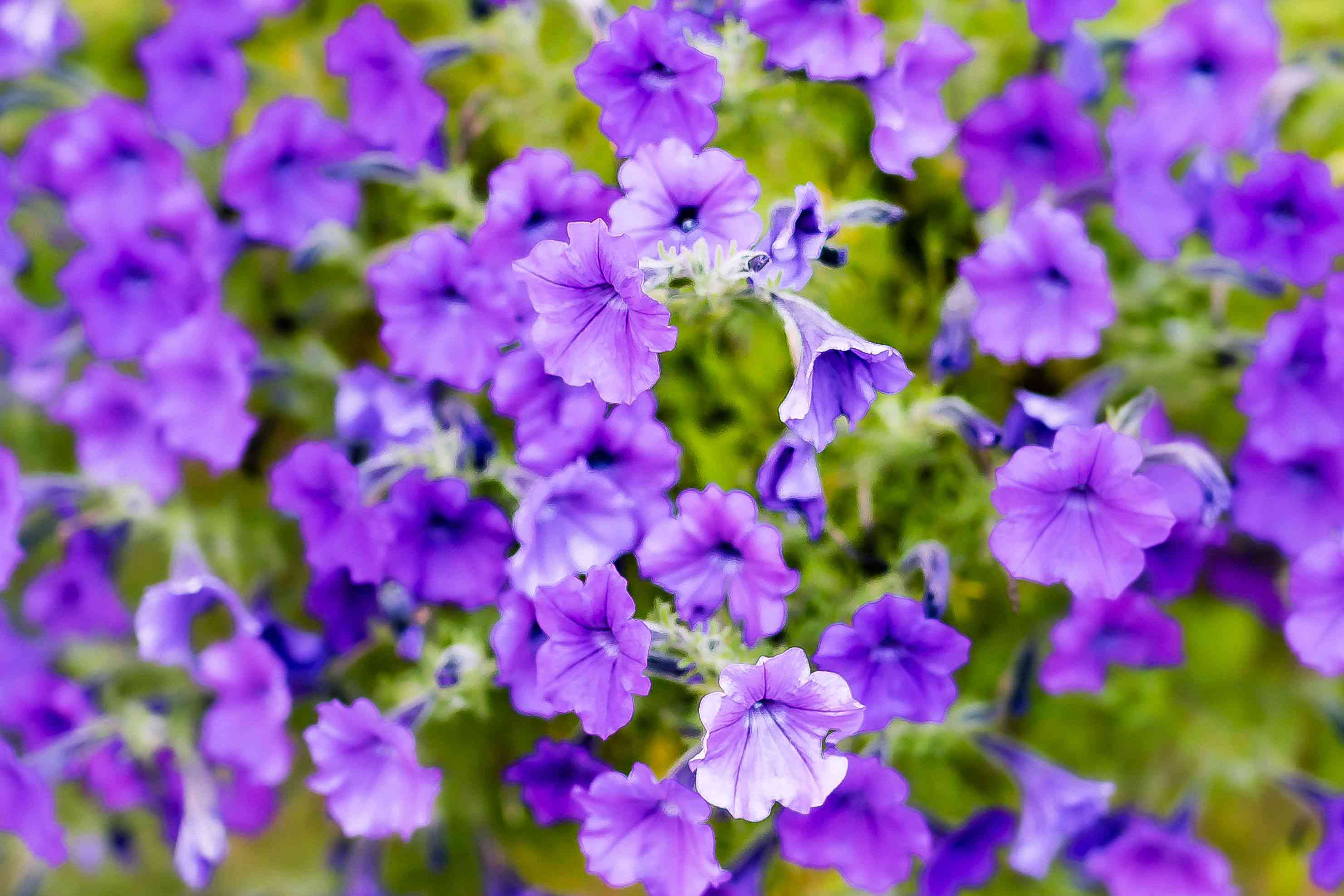 Petunia plant with trumpet-shaped ruffled purple flowers and buds closeup