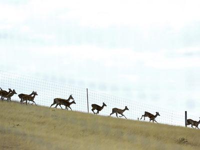 Deer fencing with a herd of deer running.