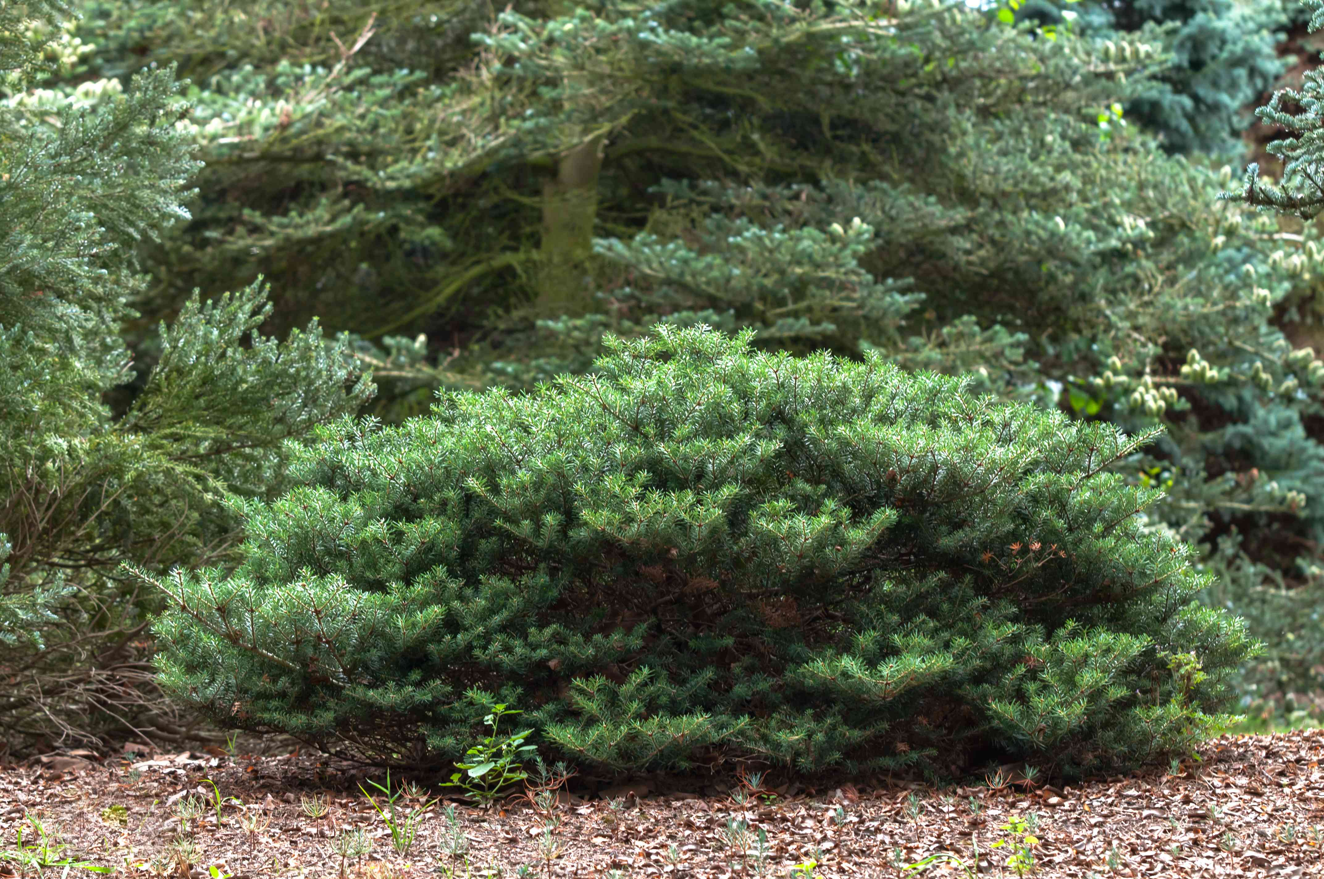 Korean fir with horizontal branches with dense needles in front of other trees