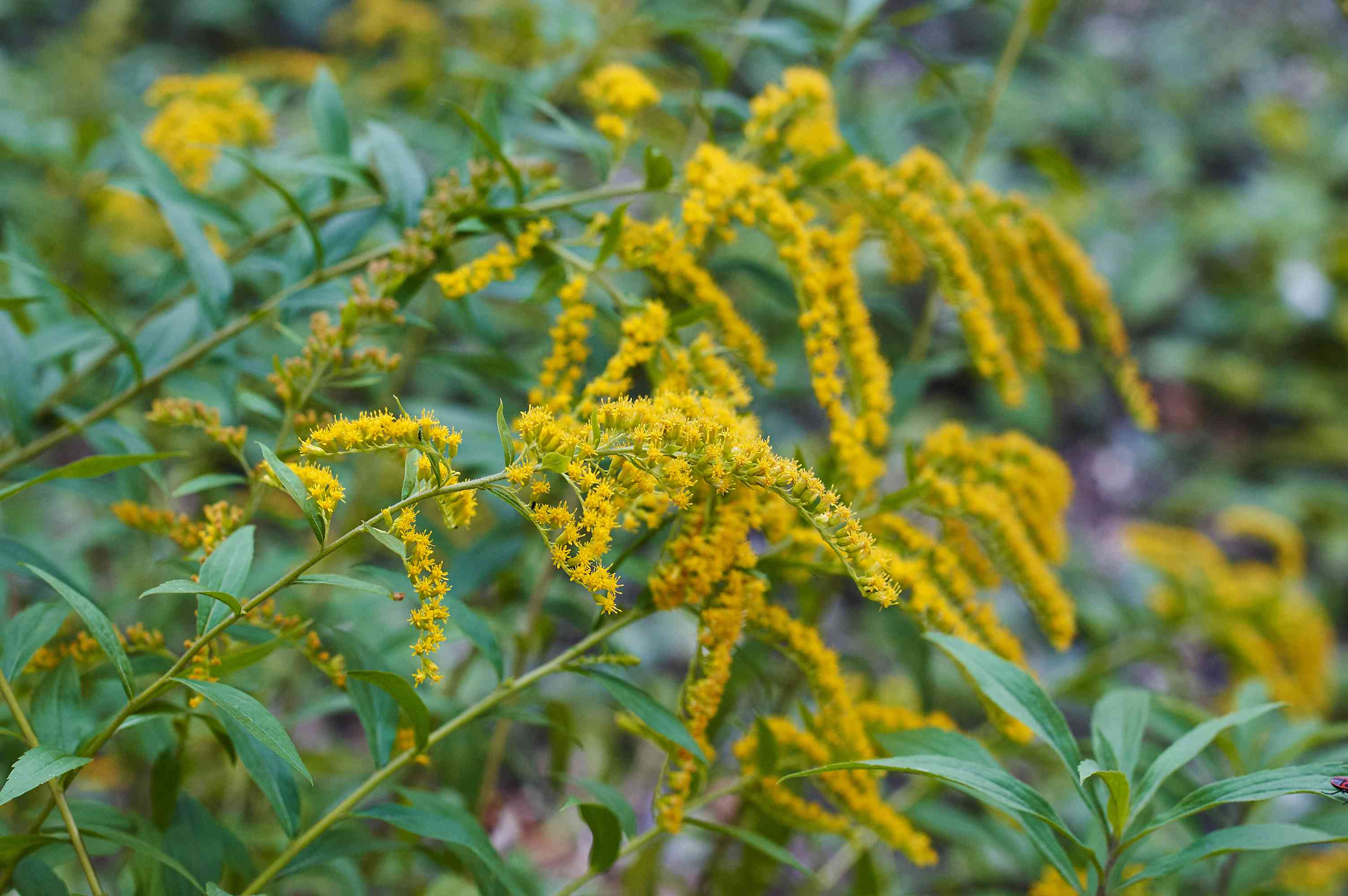 Beautiful yellow goldenrod flowers blooming