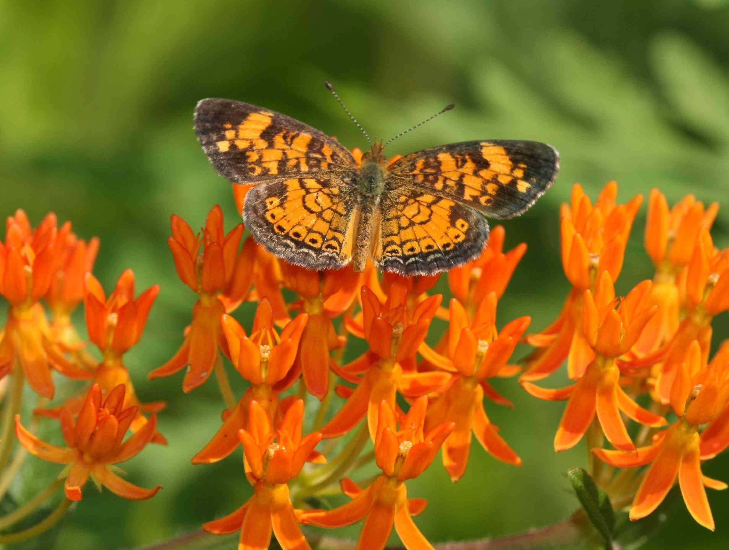 Creciente de perlas sobre hierba de mariposas