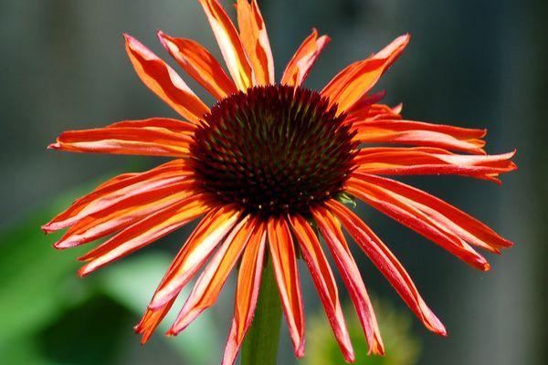 Firebird coneflower with its orange flower