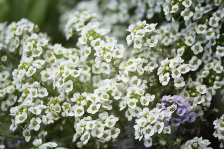 Sweet Alyssum Plant: Care and Growing Guide