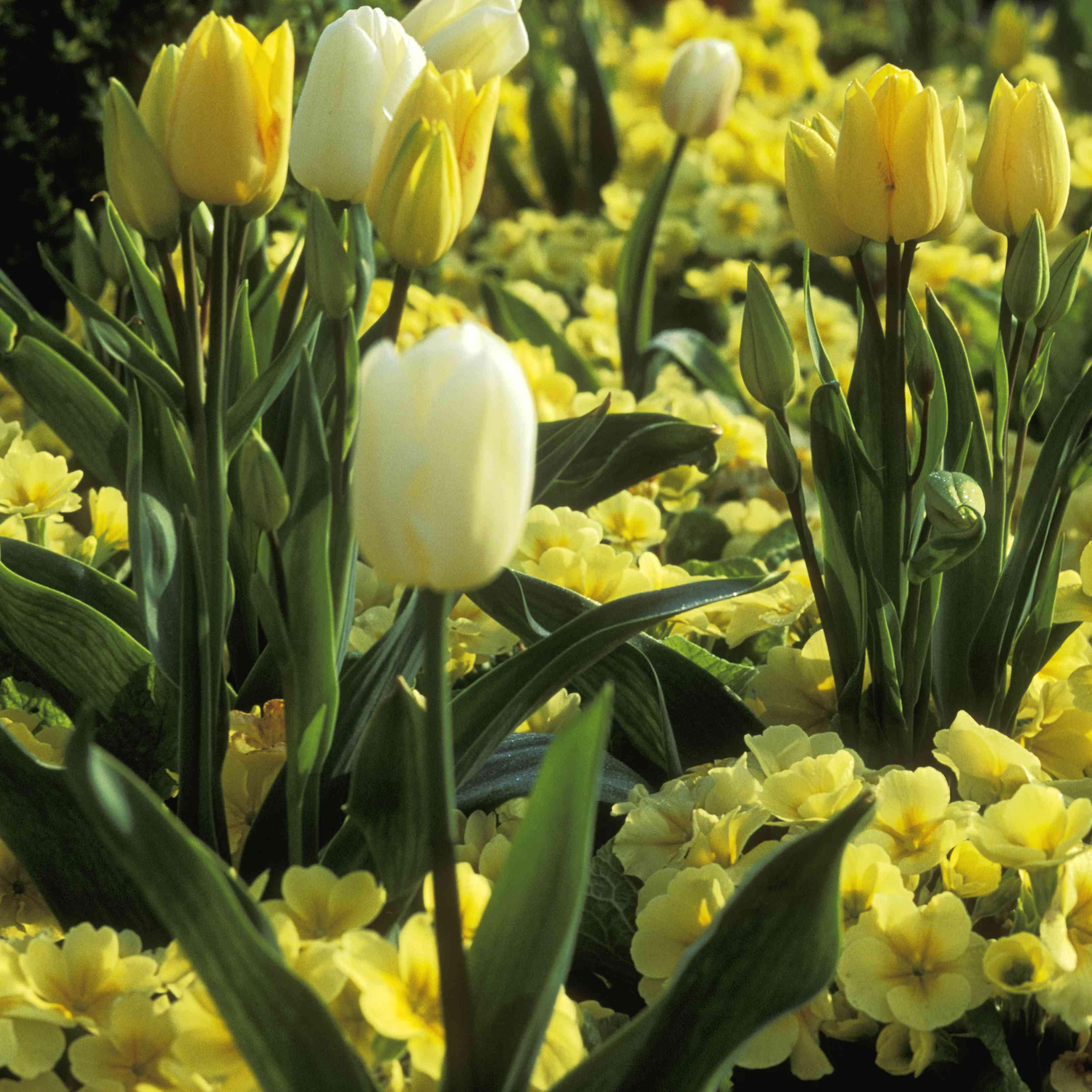 Tulips and Primroses