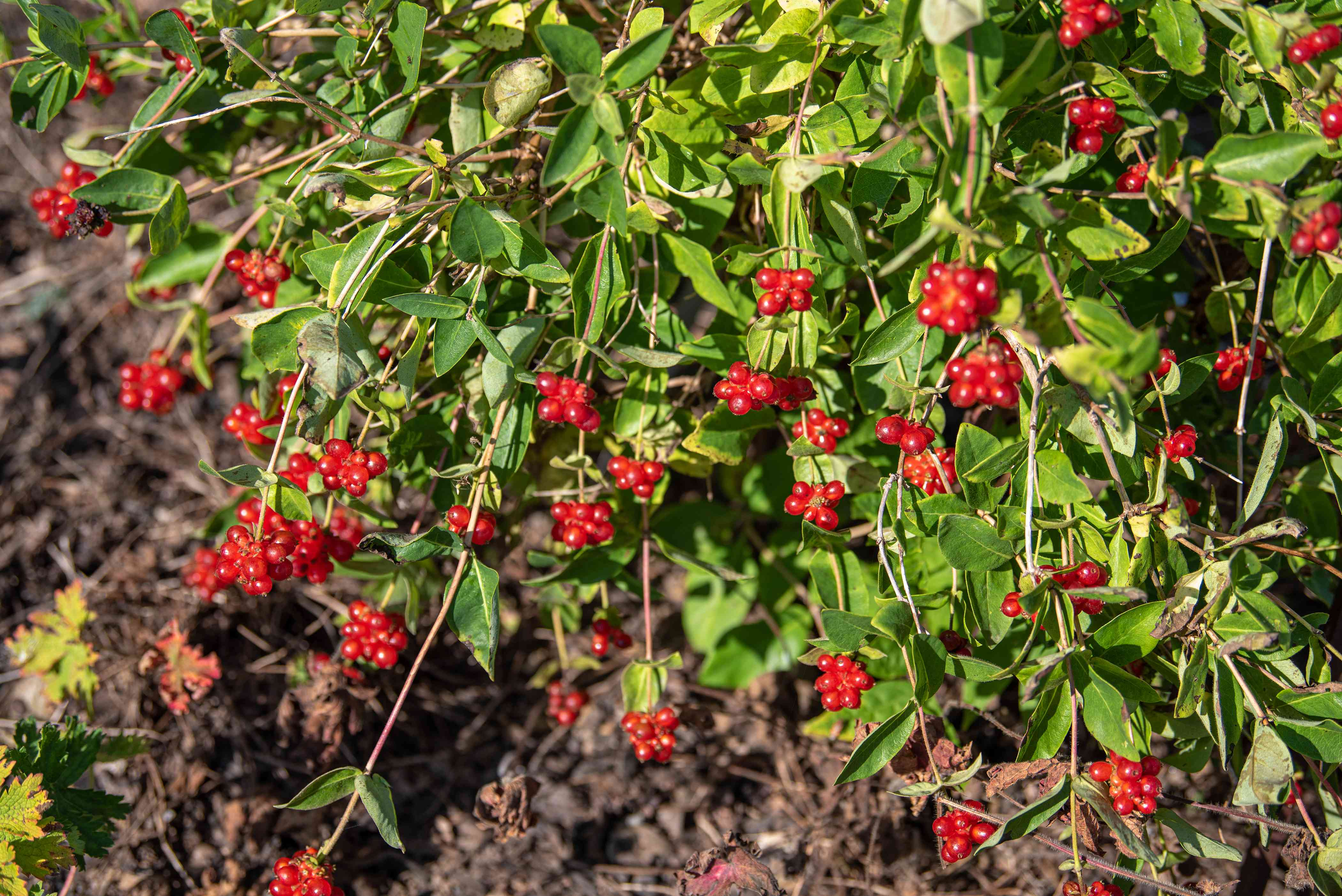 Common honeysuckle plant with vine-like stems and red berry clusters with leaves