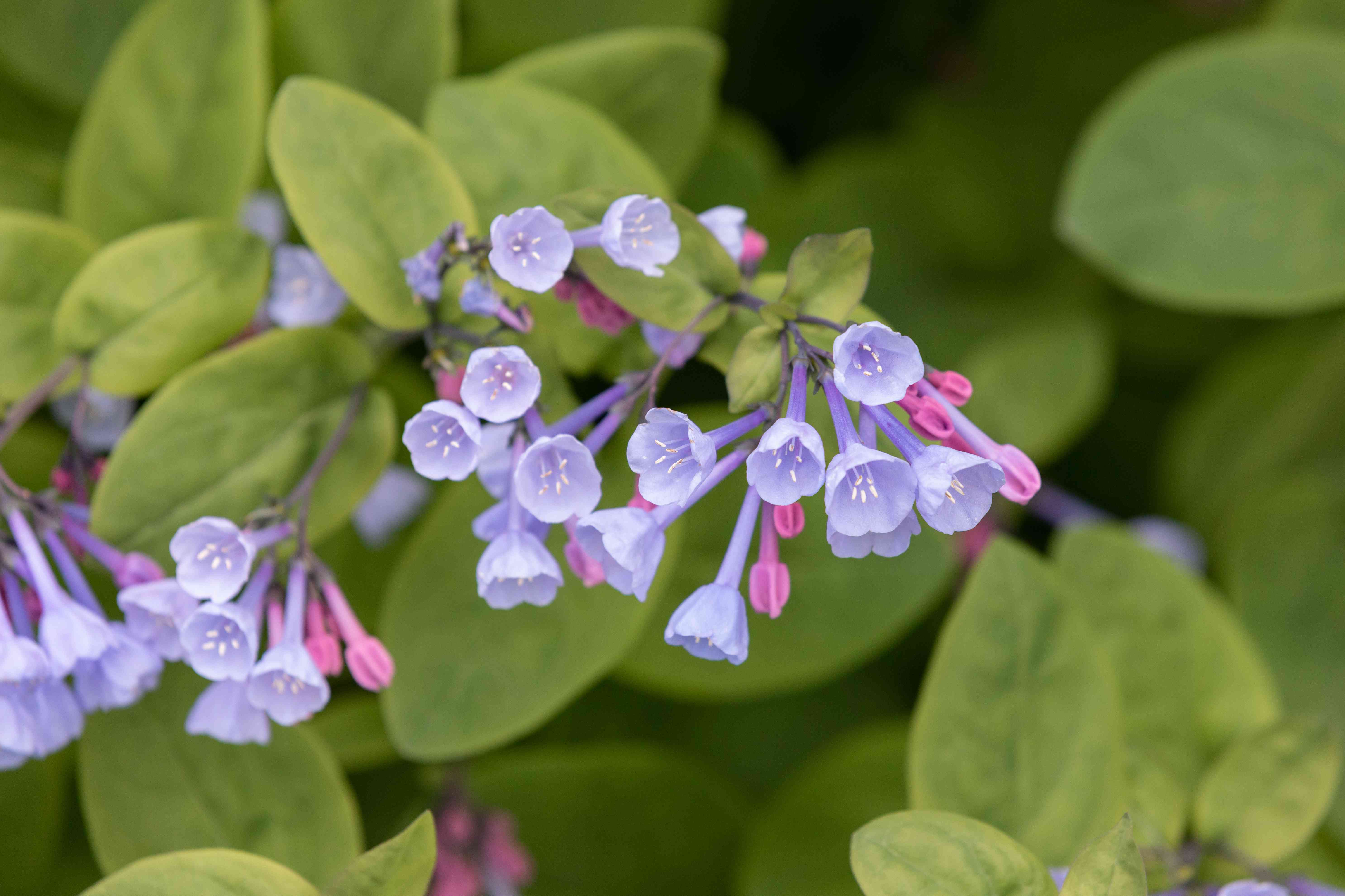 Virginia bluebell flowers with light purple trumpet-like petals and buds closeup