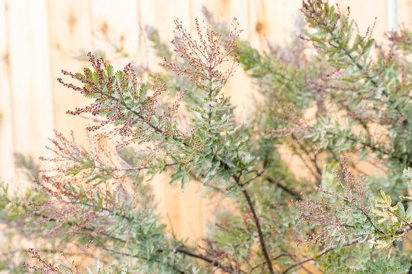 Silver wattle acacia shrub branches with small silvery-green leaves and tiny red flower buds