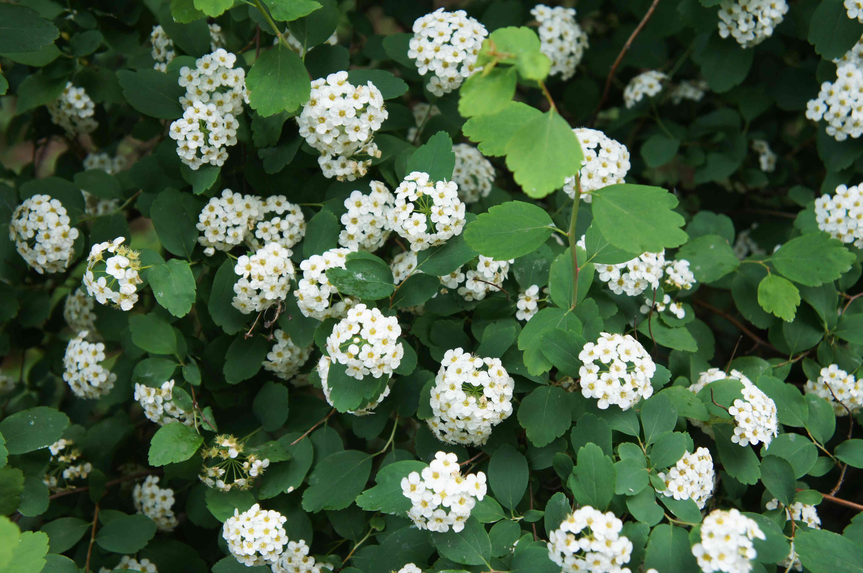 Shrub of spiraea betulifolia tor or birchleaf spirea with white flowers