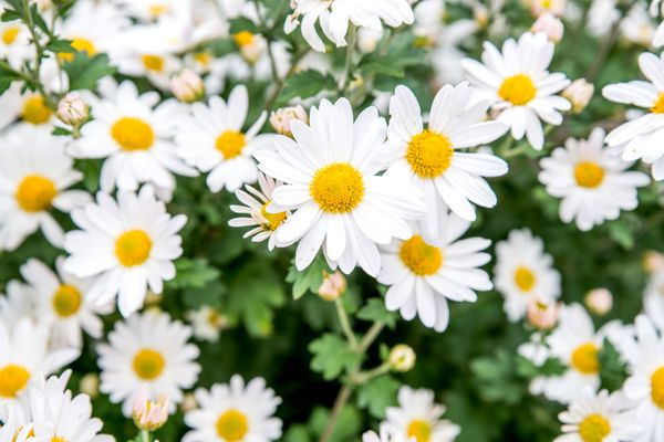 yellow and white daisies