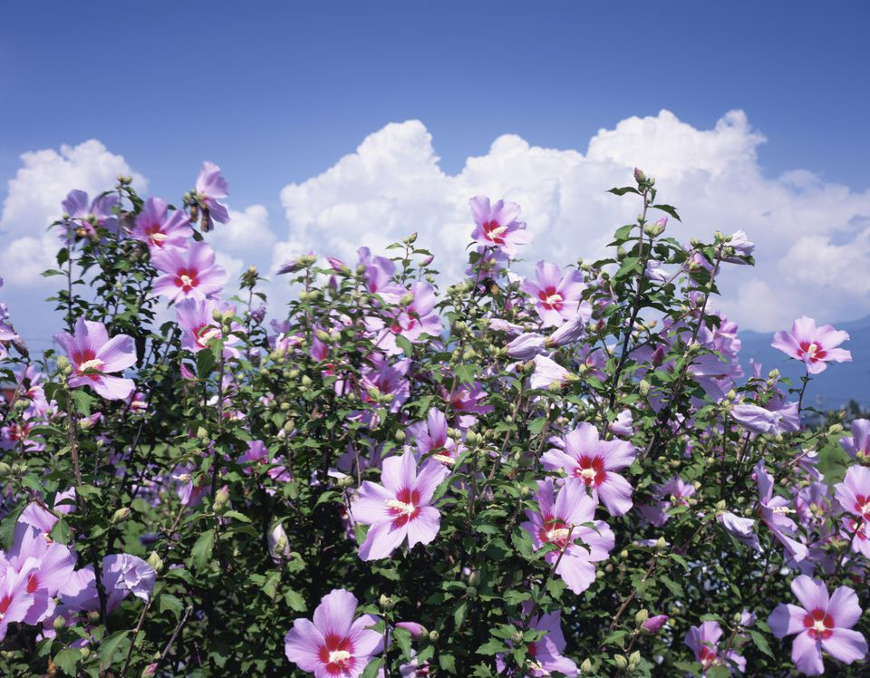 Rose of Sharon bush with pink-lavender flowers with red centers