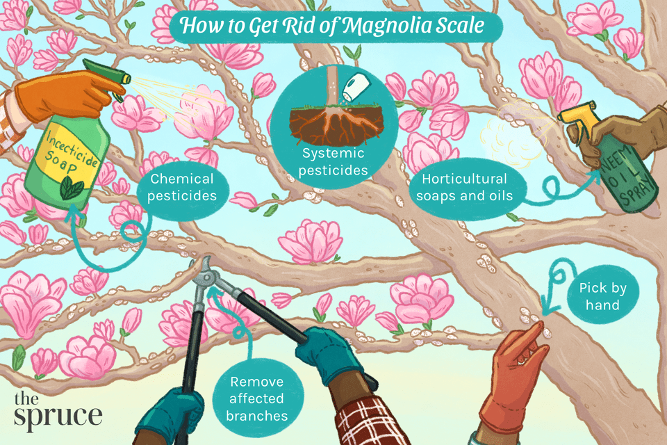 How to Get Rid of Magnolia Scale
