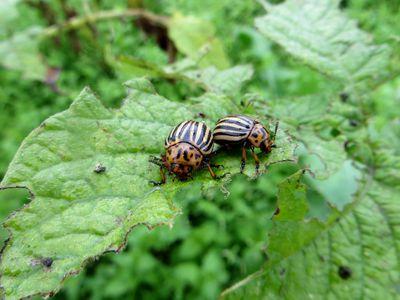 Spittlebugs Or Froghopper It S Still A Garden Pest