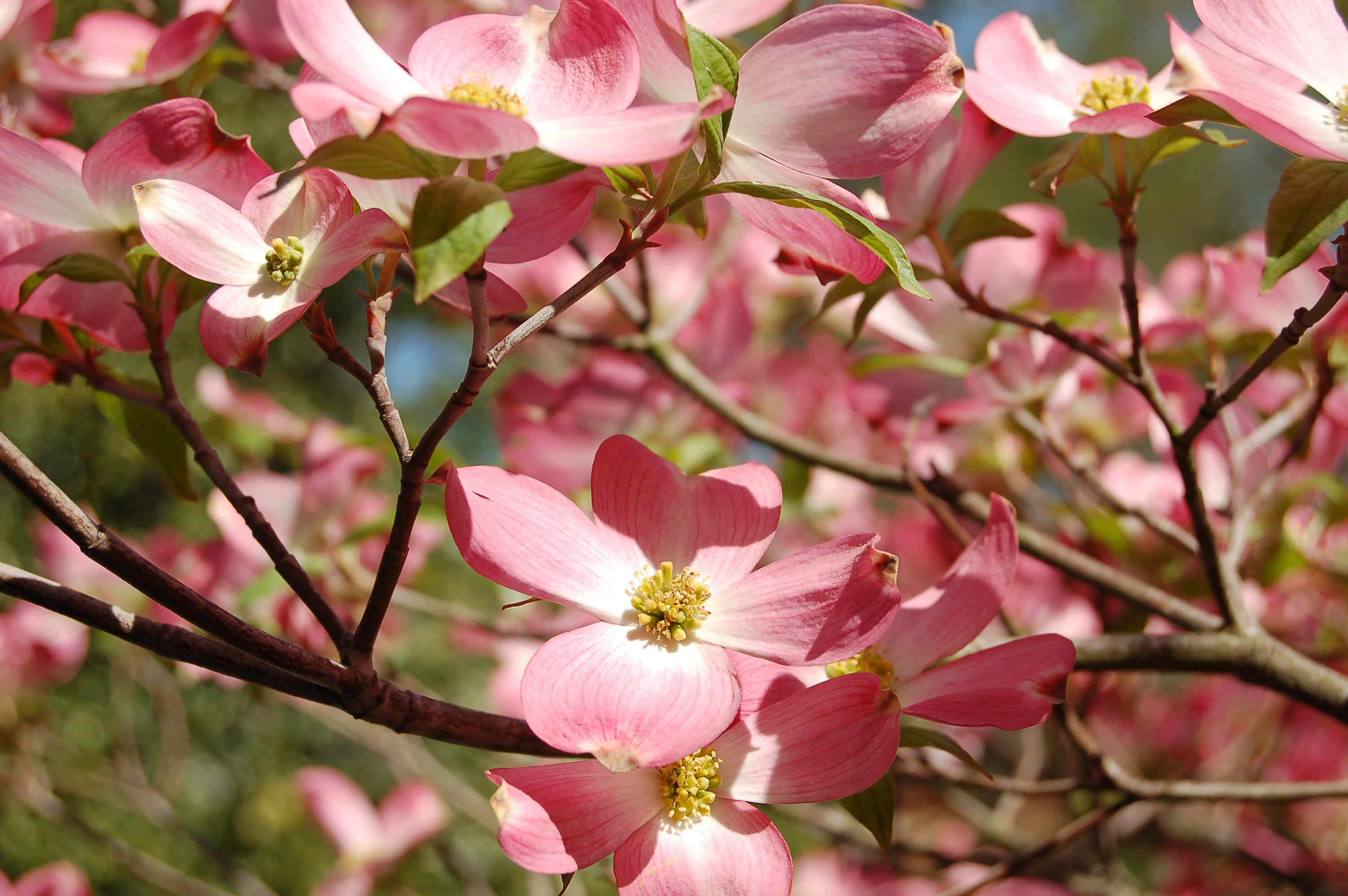 Consider These Flowering Trees And Shrubs For Your Spring Landscape