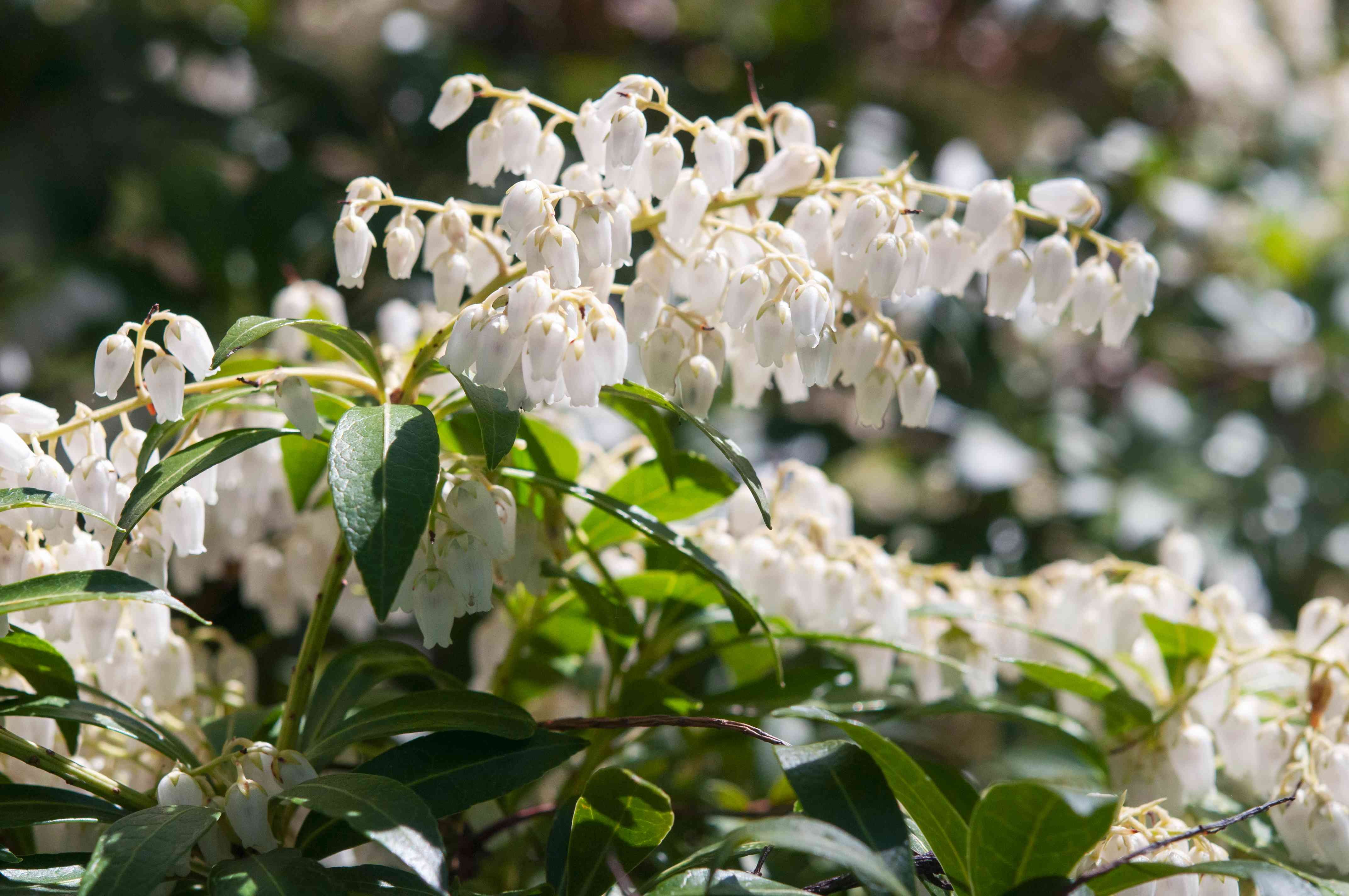 Japanese pieris toccata with white flowers on branches closeup
