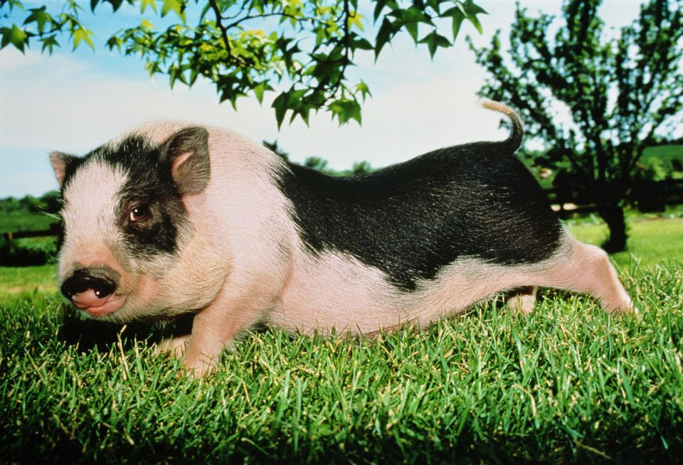 Vietnamese pot belly pig in field