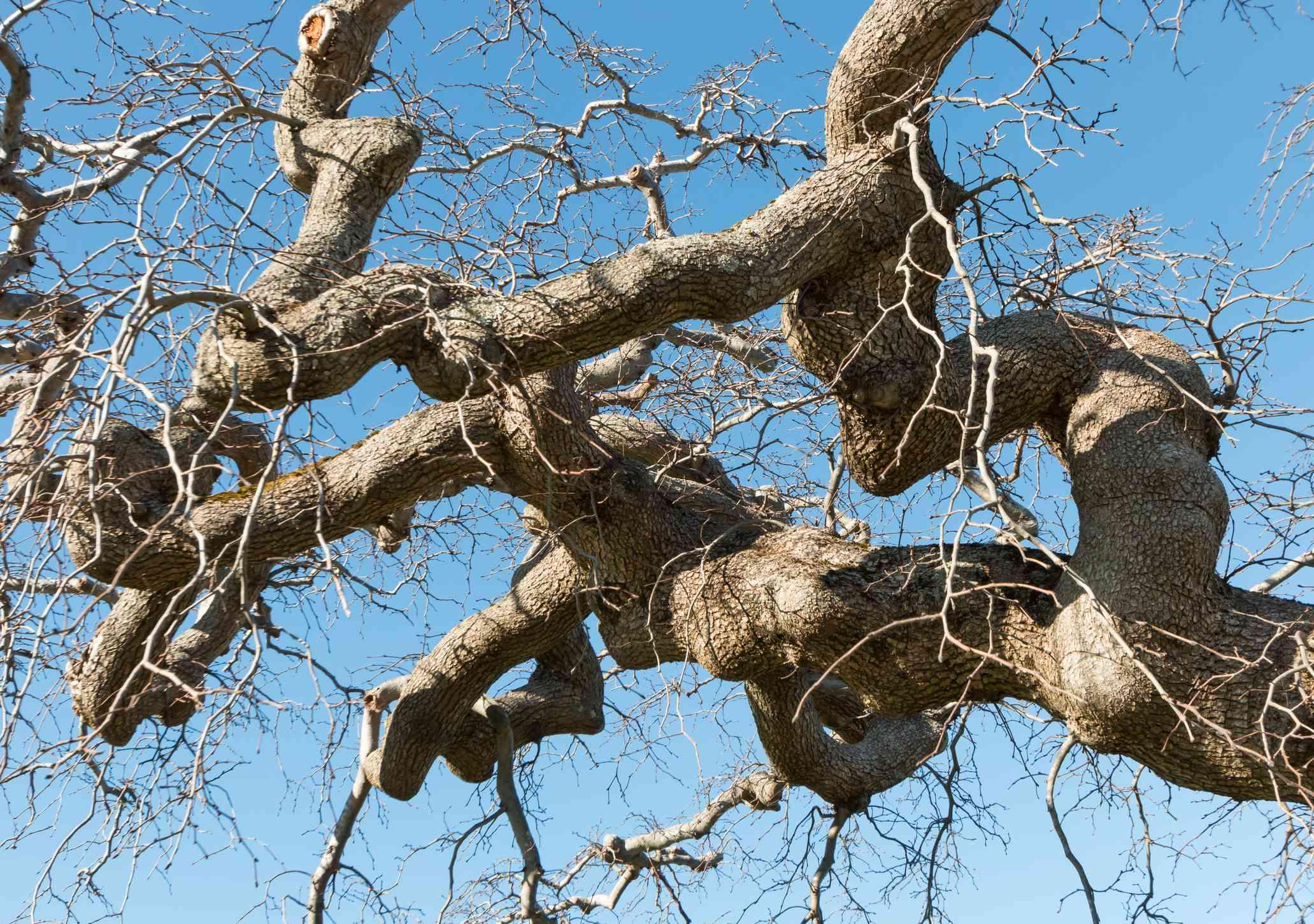 Twisted limbs of camperdown elm tree in winter