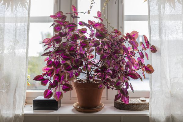 Coleus plant indoors in a windows, in purple and pink colours