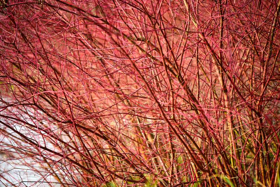Red twig dogwood shrub with light red branches leaning toward water