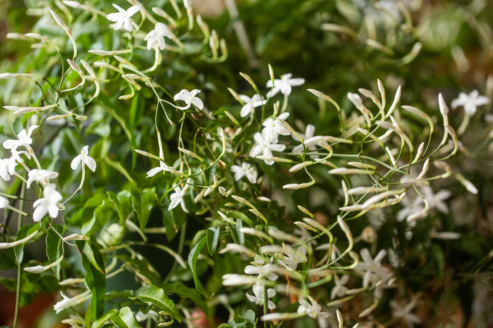 Vining jasmine flowers and buds closeup