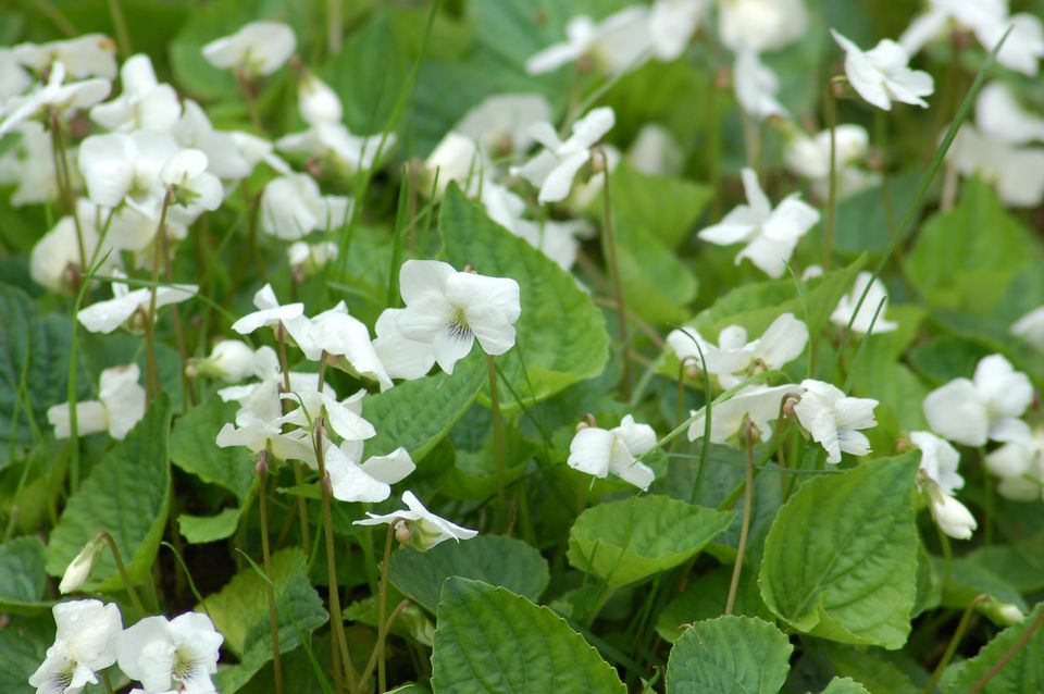 White wild violets in bloom.