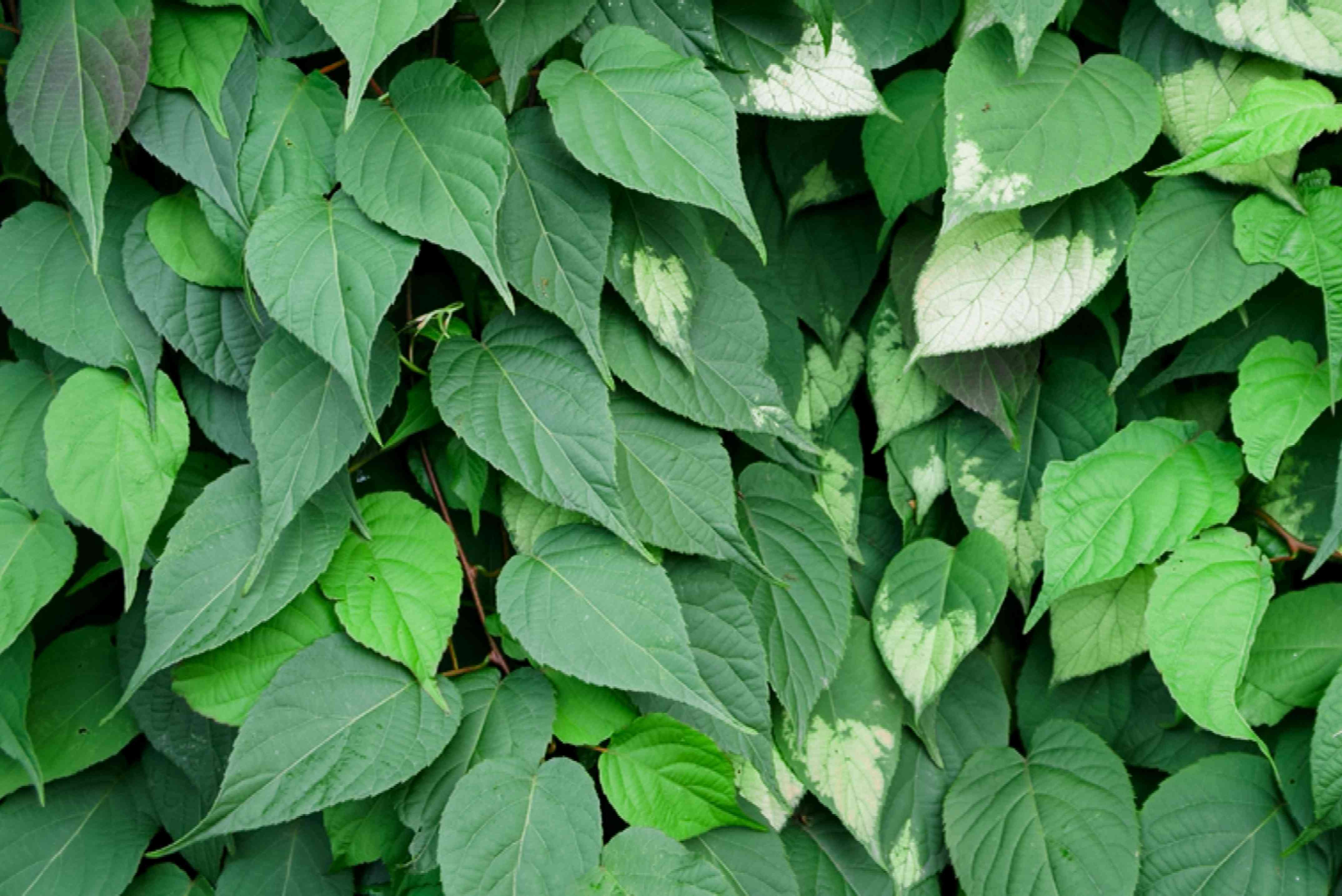 Lysimachia vulgaris green leaves clustered with some having white tips